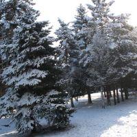 Ели возле Администрации, 29.01.2007., Белореченск