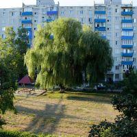 Плакучая ива., Белореченск