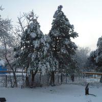Сосны в снегу. Январь 2011 г., Верхнебаканский