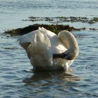 Лебедь, Джубга