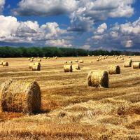 free ...Yellow field, Калинино
