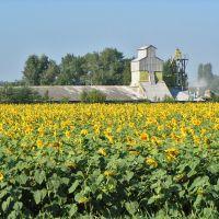 Кубанский пейзаж с подсолнухами. - Kuban sunflowers., Калинино