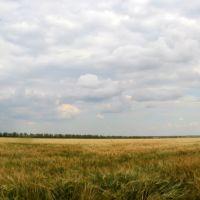 Поле с озимой у хутора Любимов. 2011 год., Калинино