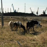 Коровы и краны, Дудинка