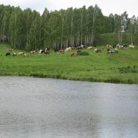 Cows on the lake coast, Уяр