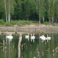 Лебеди на озере Раухова Мельница, Шалинское