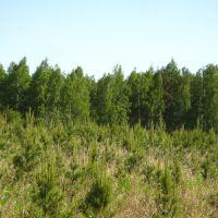 Молодая сосновая поросль (A young pine shoots), Глядянское
