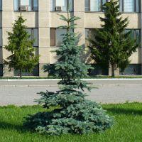 Ель возле Администрации города, Шадринск