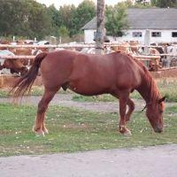 лошадь, Суджа