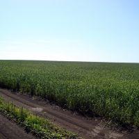 Русское поле.Пшеница., Измалково