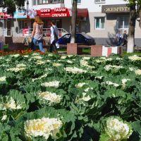 Урожай капусты поспевает на клумбах бульвара Чавайна. Йошкар-Ола., Йошкар-Ола