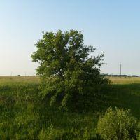 Одинокое дерево, Большое Игнатово