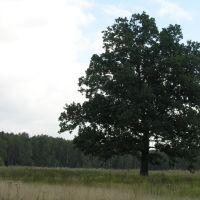 Одинокий дуб в поле, Белые Столбы