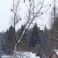 Птицы для Сашули, Вербилки