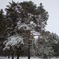 The winter forest  Зимний лес, Вербилки