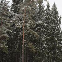 Curve pine  Кривая сосна, Вербилки