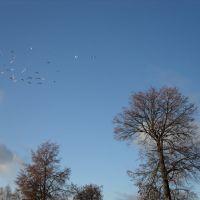 стая голубей, Дедовск
