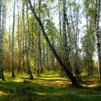 Березовая роща в Оболдино, Загорянский