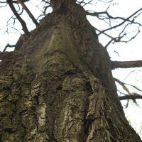 Старое дерево (Old tree), Икша