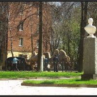 Верблюды в городе!, Истра
