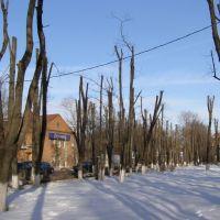 Деревья-инвалиды, Истра