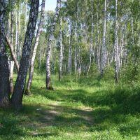 Березовый лес., Крюково