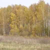 Березовая осень., Крюково