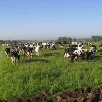 Коровы у ворот Москвы-2 (20.05.2008), Немчиновка