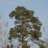 pine, Опалиха