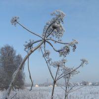 Зимний одуванчик - Борьщевик, Пироговский