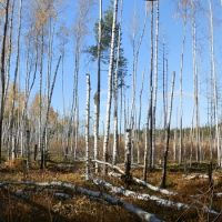 The Birch wood on the scene of conflagration / Березняк на пожарище, Радовицкий