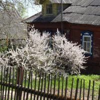 Цветёт вишня войлочная, Решетниково