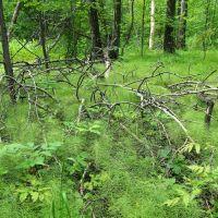 Лес, утопающий в хвоще, Тишково