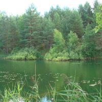 Cосновые посадки на берегу озера Солянка в пос.Фосфоритный., Фосфоритный