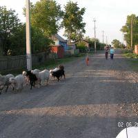 отара, Убинское