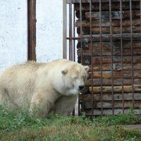 Зоопарк. Белый медведь, Большеречье
