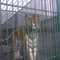 Зоопарк. Тигр, Большеречье