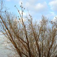 Поющее дерево, Любинский