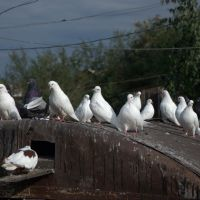 Голуби на голубятне., Белинский