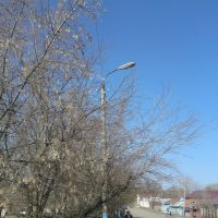 Spring Buds, Beriosa [Birch] Tree, Serdobsk, Russia, Сердобск