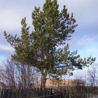 Pine, Лысьва