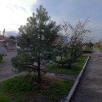 Sakura, Лесозаводск