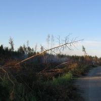 Burnt forest near Pytalovo city, Пыталово