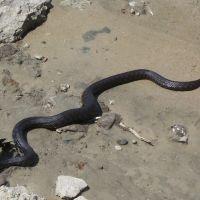 Змея заглатывает рыбку, Аютинск