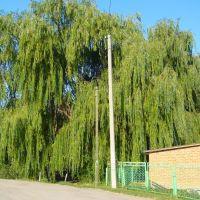 Плакучая Ива Возле Беседки Детского Сада (2011). Weeping Willow Near Arbors of Kindergarten (2011), Большая Мартыновка