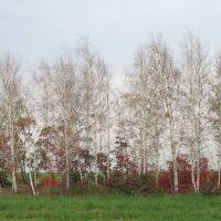 Березы вдоль дороги;октябрь, Матвеев Курган