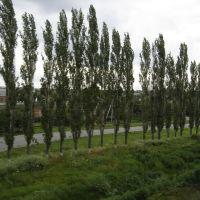 Millerovo. Trees along the road / Миллерово. Деревья вдоль дороги, Миллерово