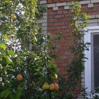 Pear Tree@Peschanokopskoye, Песчанокопское
