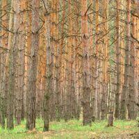 pines, Тарасовский