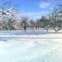 Милославка (зимний яблоневый сад возле Администрации), Милославское